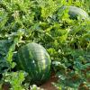 melon-