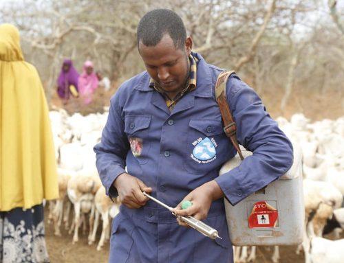 PPR Vaccination Kicks Off In Mandera
